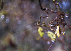 Catkins (Fourteenfoottiger) Tags: bubblebokeh bubbles dappledlight dappled curly twisty spring seasons catkin bokeh nature plants depthoffield hazel brown raindrops rain helios44m
