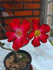 20170123_191228_HDR (Rodrigo Ribeiro) Tags: flower flores nature natureza jardim jardinagem backyard garden gardening