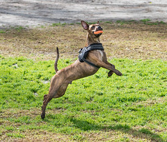 Graceful (Maggie McGunigle) Tags: dog odin brindle mix terrier 2 years rescue mutt adopted animal park ball catch fetch chuckit chuck it frozen freeze frame quick shutter action outdoor balls
