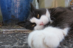 Henry keeping guard (Snorkle-suz) Tags: henrysugar cat face eyes ears whiskers feline pose posing love beloved cats friend family companion adored funny silly pet kat furry fluffy blackandwhitecat blackwhitecat bwcat canonpowershotsx700hs cathair catsface catfur catspaw eyebrows hairyears outside ground blue
