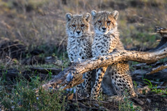 Two cheetah cubs in the early morning light, Ndutu, Tanzania, East Africa (diana_robinson) Tags: twocheetahcubs cheetah cubs wildlife africa animals siblings earlymorning ndutu tanzania eastafrica