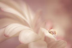 Leave me to dream (Ro Cafe) Tags: pinkandwhite macro drop refelction soft selectivefocus pastels nikkormicro105f28 nikond600 gerbera flower petals