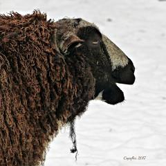 Beeeeeh, have a nice weekend. (Cajaflez) Tags: schaap sheep kinderboerderij dragonderpark veenendaal winter portret portrait coth5