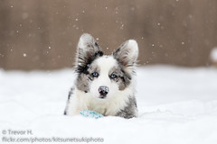 Shes Growing (Kenjis9965) Tags: canoneos7dmarkii canon70200f28l canon ef 70200mm f28l is usm ii 7d mark cardigan welsh corgi puppy snow winter outside ball playing having fun running staring blue merle eyes contrast eos