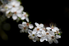 Springtime........ (klythawk) Tags: blackthorn prunusspinosa sunlight nature spring dof green yellow red orange black white olympus em1mkll 100400mm panasonic colwickpark nottingham klythawk