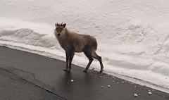 Kamoshika (h_saarikoski) Tags: animal kamoshika serow japan capricornis crispus goatantelope winter snow road