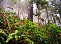 Elk Flats Trail, Oswald Sate Park, Oregon (eikonologos.images) Tags: rainforest elkflatstrail oswaldstatepark oregoncoast oregon nikkor20mmf4ai nikondf