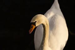 Curious swan (valentin.blueml) Tags: floridsdorfvögel swan schwan feathers macro