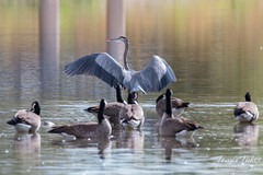 Great Blue Heron landing sequence - 7 of 7