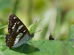 Le Sylvain azur - Limentis reducta (michel lherm) Tags: papillons lpidoptres limentisreducta rhopalocres lesylvainazur
