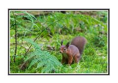 Red Squirrel. (Echo Charlie Three Zero) Tags: redsquirrel queenelizabethforestpark nikond600