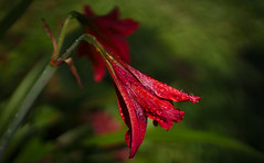 Flowers of the Forest IV (sphaisell) Tags: red flower ecuador cloudforest loscedros