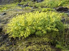 Frauenmantel (Alchemilla sp.) - Laugavegur - Trekking auf Island