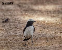 صباح الخيرات   #بر #البراري #الكشته  #كشته #مكشات @x3abrr #x3abrr #طير #الطير #طيور #الطيور (photography AbdullahAlSaeed) Tags: بر كشته طير طيور الطيور الطير الكشته البراري مكشات x3abrr