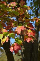 4-FallOnBRP'15 (T's PL) Tags: plant virginia leaf nikon fallcolor outdoor foliage va leafs blueridgeparkway brp yabbadabbadoo nikondslr d7000 nikond7000