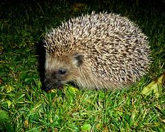 Igel in unserem Garten- Hedgehog in our garden (Bine&Minka2007) Tags: animal im hedgehog garten nachts tz10