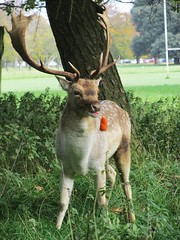 A walk in the Park, Phoenix Park, Dublin, Ireland. Oct 29th 2015..... #Walk #wander #discover #explore #autumnal #autumn #fall #season #colour #trees #nature #natural #beauty #pic #photo #capture #tone #contrast #black #white #animal #species #deer #stag (Mel Byrne) Tags: park wood autumn trees dog pet white black colour fall love monument nature beautiful beauty animal contrast forest season photo pretty stag cross natural walk canine pic doe deer explore land species capture tone autumnal wander discover rut rutting