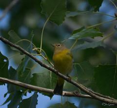 Nashville Warbler (jdcalvin096) Tags: nature minnesota feathers egglaying naturescreations