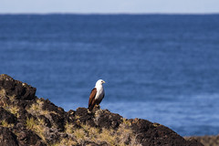 Brahminy Kite (oz_lightning) Tags: nature birds wildlife australia raptor nsw newsouthwales geology aus portmacquarie tackingpoint canonef70200mmf4lisusm canonef14xiiextender canon6d