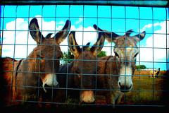 Tres Amegos (Groovyal) Tags: horse art ass animal work photography friend farm donkey mexican burro spanish tres mule equine amegos groovyal tresamegos