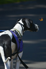 Great Dane & Monach Butterfly (swong95765) Tags: dog cute butterfly greatdane servicedog distracted