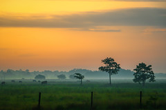 Foggy Pasture Sunrise (tclaud2002) Tags: fog landscape cattle cows florida foggy stuart highschool pasture grazing graze martincounty southfork