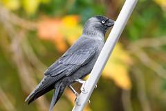 choucas des tours (Coloeus monedula) (yann.dimauro) Tags: france animal fr extrieur oiseau rhone rhnealpes givors ornithologie