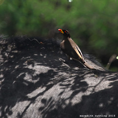 Oxpecker (meredith_nutting) Tags: africa rwanda eastafrica easternafrica