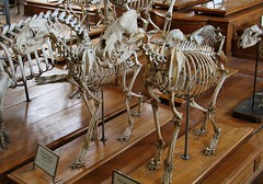 Spotted Hyena and Stripped Hyena Skeletons (praja38) Tags: life paris france nature animal museum skeleton mammal skull europe jaw teeth main over diversity evolution spotted skeletons their has hyena 1000 striped specimens europen comparativeanatomy galleryofpalaeontology