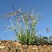 Chloris truncata plant SWS4
