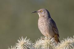 Curve-billed Thrasher (gilamonster8) Tags: bird arizona bokeh beyondbokeh ngc