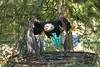 Weißkopfseeadler - Bald eagle (Noodles Photo) Tags: weiskopfseeadler baldeagle birdofprey canoneos7d adler greifvogel haliaeetusleucocephalus seeadler alphenaandenrijn vogelparkavifauna vanderfalkavifauna