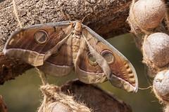 Silk moth (wietsej) Tags: silk moth maikal hills chhattisgarh india insect sony a700 zeiss sonnar13518za sal135f18z wietsejongsma