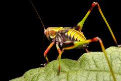 Saltamonte (Tettigoniidae) (Javier Chiavone) Tags: langosta macro sansebastian tettigoniidae misiones andresito argentina