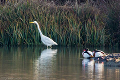 Great White Egret (Ardea alba) and Shelduck (Tadorna tadorna) (BiteYourBum.Com Photography) Tags: blue dawnandjim dawnjim biteyourbum biteyourbumcom copyright©2017biteyourbumcom copyright©biteyourbumcom allrightsreserved canoneos7d canonefs60mmf28macrousm sigma50500mmf4563dgoshsm canonef1740mmf4lusm apple imac5k lightroom5 ipadair appleipadair camranger lrenfuse focusstacking polaroidautofocusdgmacroextensiontubes manfrotto055cxpro3tripod manfrotto804rc2pantilthead loweproprorunner350aw uk unitedkingdom gb greatbritain england westsussex arundelwildfowlandwetlandscentre arundel wwt great white egret ardea alba greatwhiteegret ardeaalba shelduck tadorna tadornatadorna