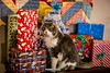A Furry Christmas Present (The Suss-Man (Mike)) Tags: animal cat christmas christmaspresents christmastree feline gainesville georgia graycat hallcounty longhaircat mainecoon owen pet sonyilca77m2 sussmanimaging thesussman