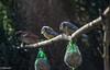 Je vois une tête qui dépasse... (Crilion43) Tags: réflex france véreaux divers mésange moineaux centre oiseaux canon objectif tamron 1200d cher bleue charbonnière femelle mâle nature passereaux piaf pierrot plumes