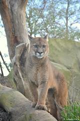 Nino - le mâle puma (Johanna Viala) Tags: puma pzp parczoologiquedeparis zoodevincennes