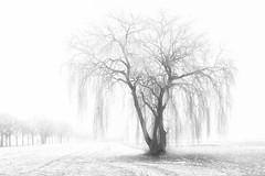 Weeping willow in the winter (Harry Sterken) Tags: winter trauerweide weepingwillow treurwilg boom tree salixbabylonica