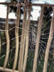 Ragnatela (1laura0) Tags: ragnatela cobweb spider drops tela gocce rugiada macro