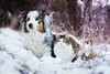 Bairla et Cali (morgane.machard) Tags: dog cat australianshepherd aussie bergeraustralien chat nature neige nikon flickr photography explore bokeh winter