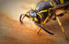 Wasp #Fear (nicoheinrich86) Tags: augen eyes eye nikon d5300 macro insekten insects insect wespe wasp