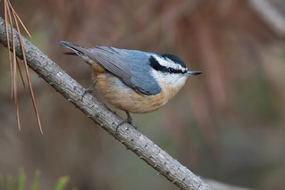 Red-Breasted Nuthatch (Male)