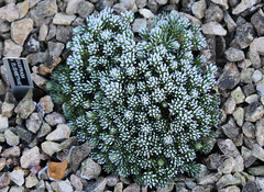 Frost (Owl Prints) Tags: mygarden frost foliage alpines saxifrage winter scree
