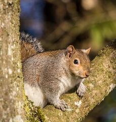 Rozelle, Ayr (md93) Tags: rozelle ayr park greysquirrel tree ayrshire
