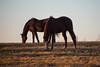 Bluegrass browned (sniggie) Tags: kentucky dusk thoroughbred lexington sunset winter grazing kentuckyhorsepark