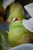 Guinea Turaco (Miles Away Photography - Mandi Miles) Tags: bird avian aviary green guinea turaco guineaturaco feather fly flight migrate mate perch