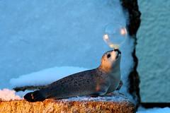 """Winter Wonderland"" (Wackelaugen) Tags: macromondays inspiredbyasong seal toy bubbles soapbubble macro balance balancing winter snow cold artist circus canon eos photo photography wackelaugen"