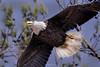 BC Bald Eagle Female 6 (Jason Blalock) Tags: haliaeetusleucocephalus eagle baldeagle raptor bird birdofprey americanbaldeagle berryeagle berrybaldeagle berrycollegeeagle berrycollegebaldeagle