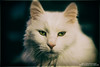 Djinn (Thoran Pictures, Thx for more then 4 million views) Tags: smcpentaxf50mm114 k1 pentaxk1 madebythoranpictures pentax pet white cat animal wil blanco pussycat wit huisdier